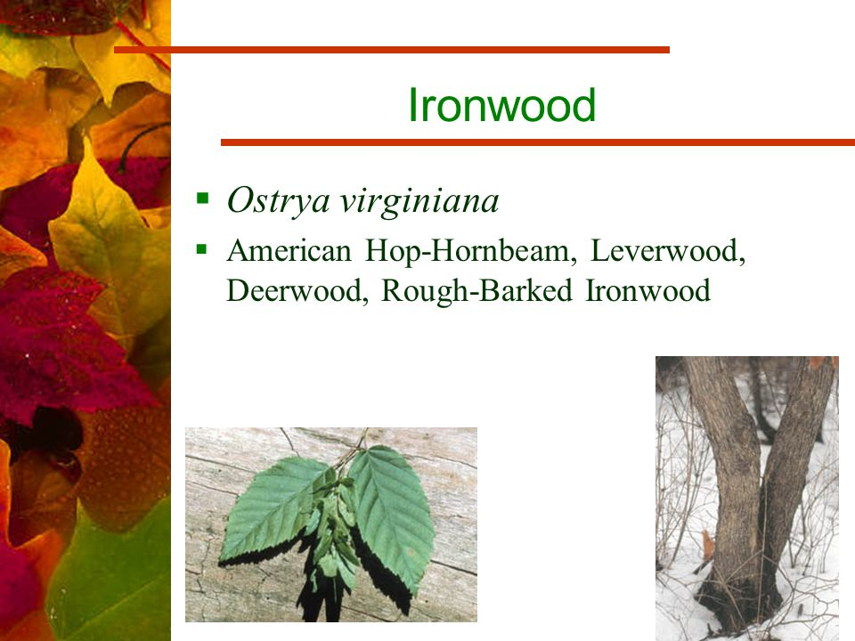 Ironwood  Ostrya virginiana  American Hop-Hornbeam, Leverwood, Deerwood, Rough-Barked Ironwood