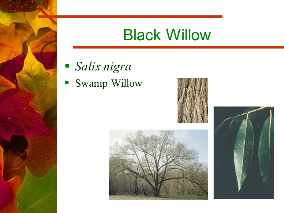 Black Willow  Salix nigra  Swamp Willow