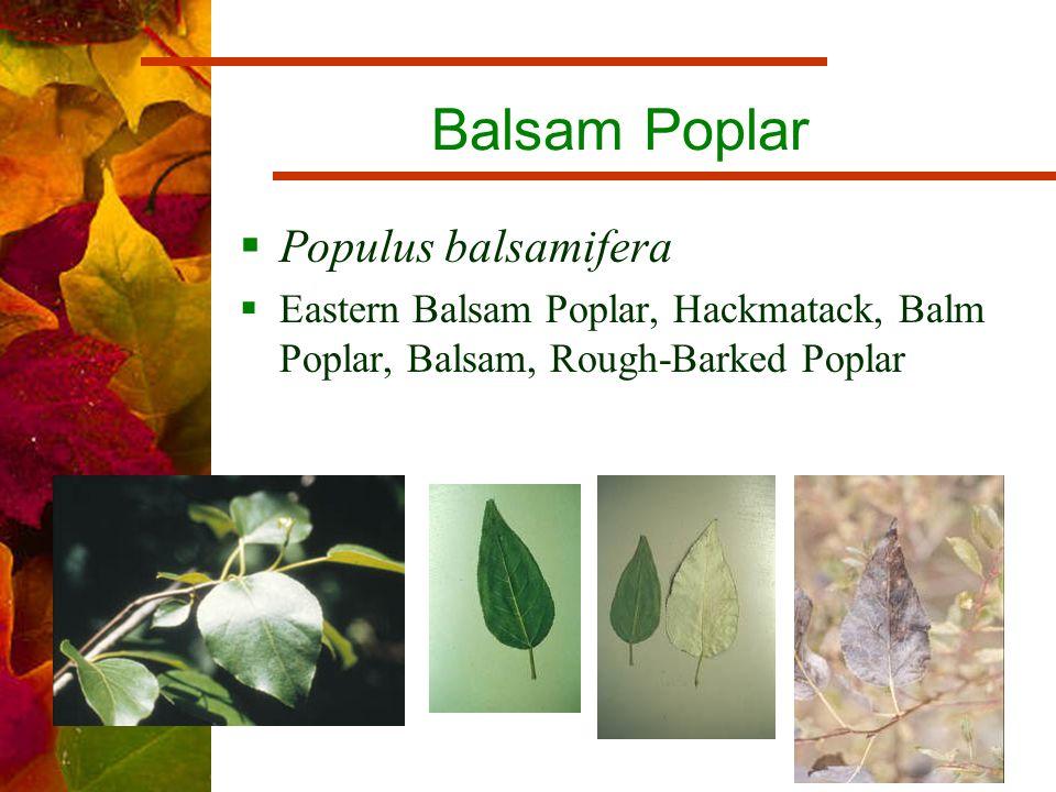 Balsam Poplar  Populus balsamifera  Eastern Balsam Poplar, Hackmatack, Balm Poplar, Balsam, Rough-Barked Poplar