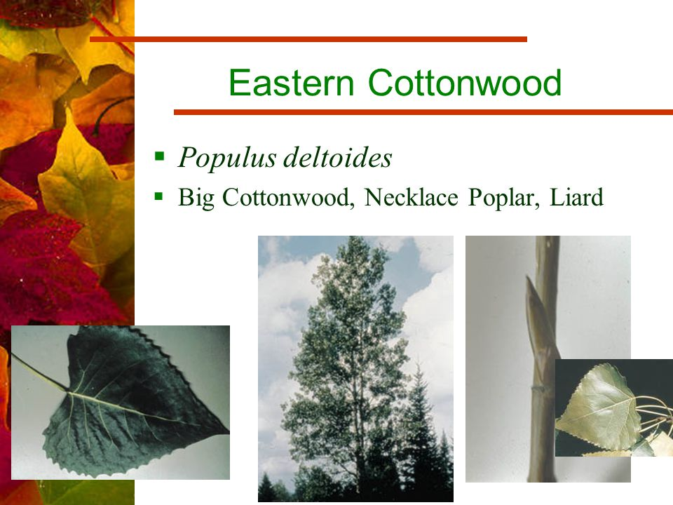 Eastern Cottonwood  Populus deltoides  Big Cottonwood, Necklace Poplar, Liard