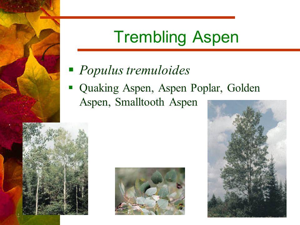 Trembling Aspen  Populus tremuloides  Quaking Aspen, Aspen Poplar, Golden Aspen, Smalltooth Aspen