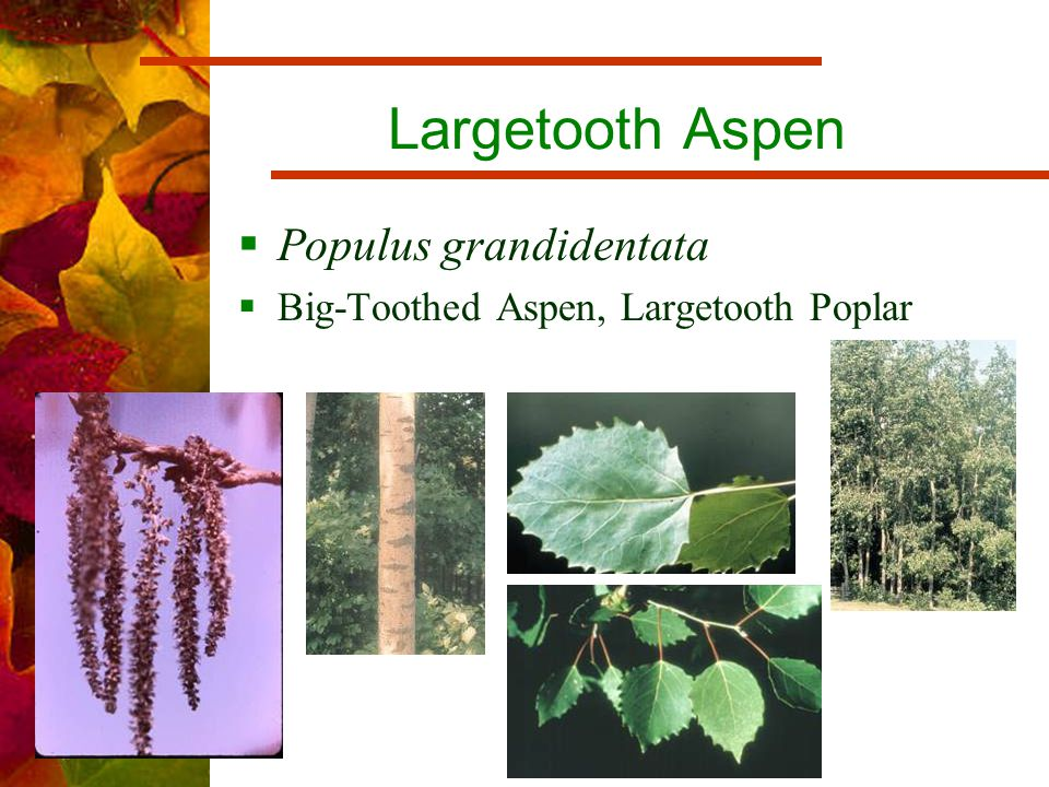 Largetooth Aspen  Populus grandidentata  Big-Toothed Aspen, Largetooth Poplar