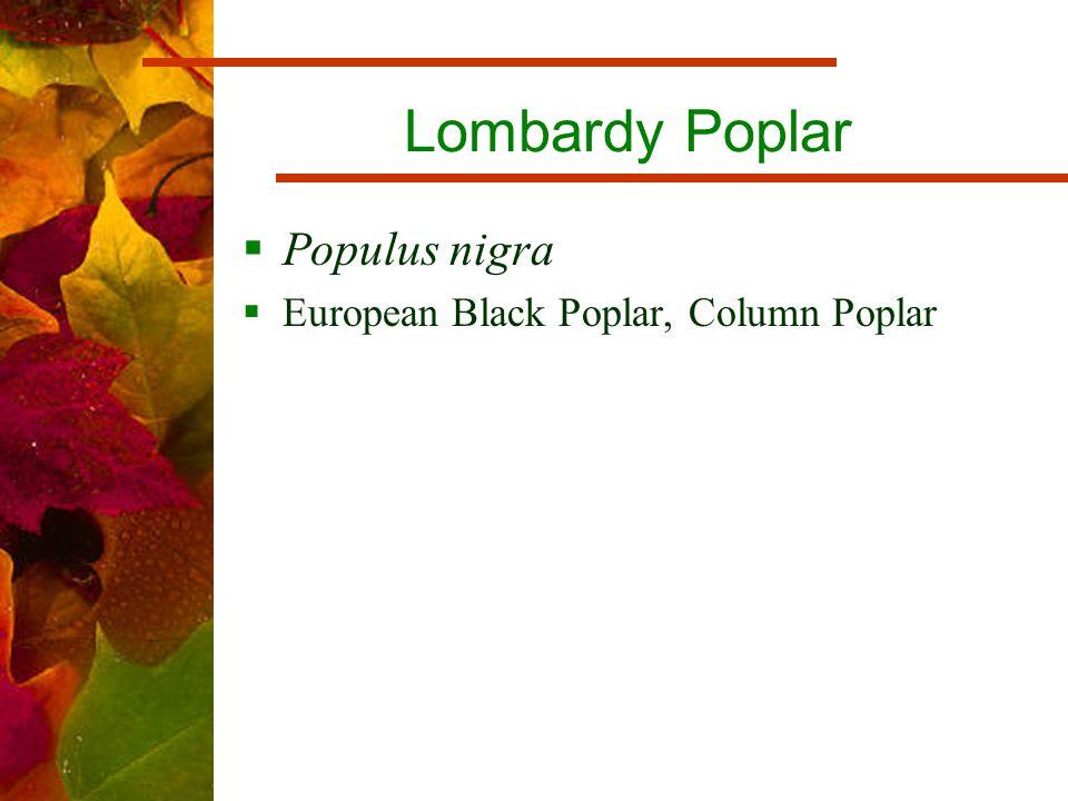 Lombardy Poplar  Populus nigra  European Black Poplar, Column Poplar