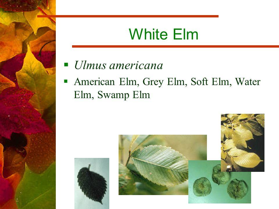 White Elm  Ulmus americana  American Elm, Grey Elm, Soft Elm, Water Elm, Swamp Elm