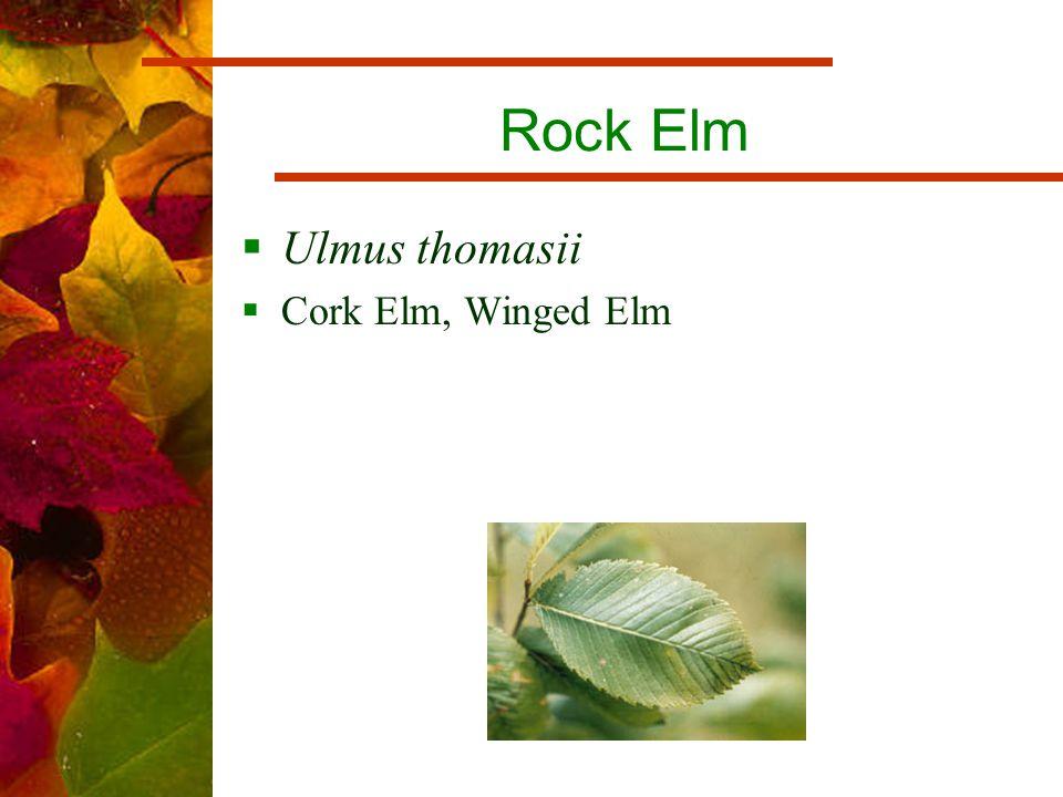 Rock Elm  Ulmus thomasii  Cork Elm, Winged Elm