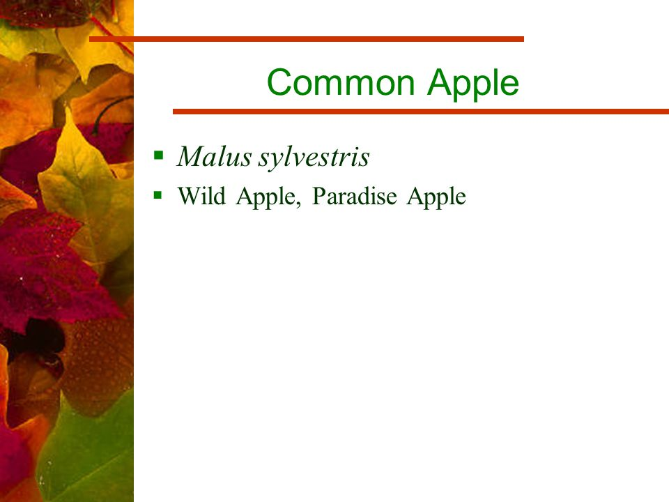 Common Apple  Malus sylvestris  Wild Apple, Paradise Apple