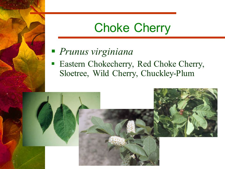 Choke Cherry  Prunus virginiana  Eastern Chokecherry, Red Choke Cherry, Sloetree, Wild Cherry, Chuckley-Plum