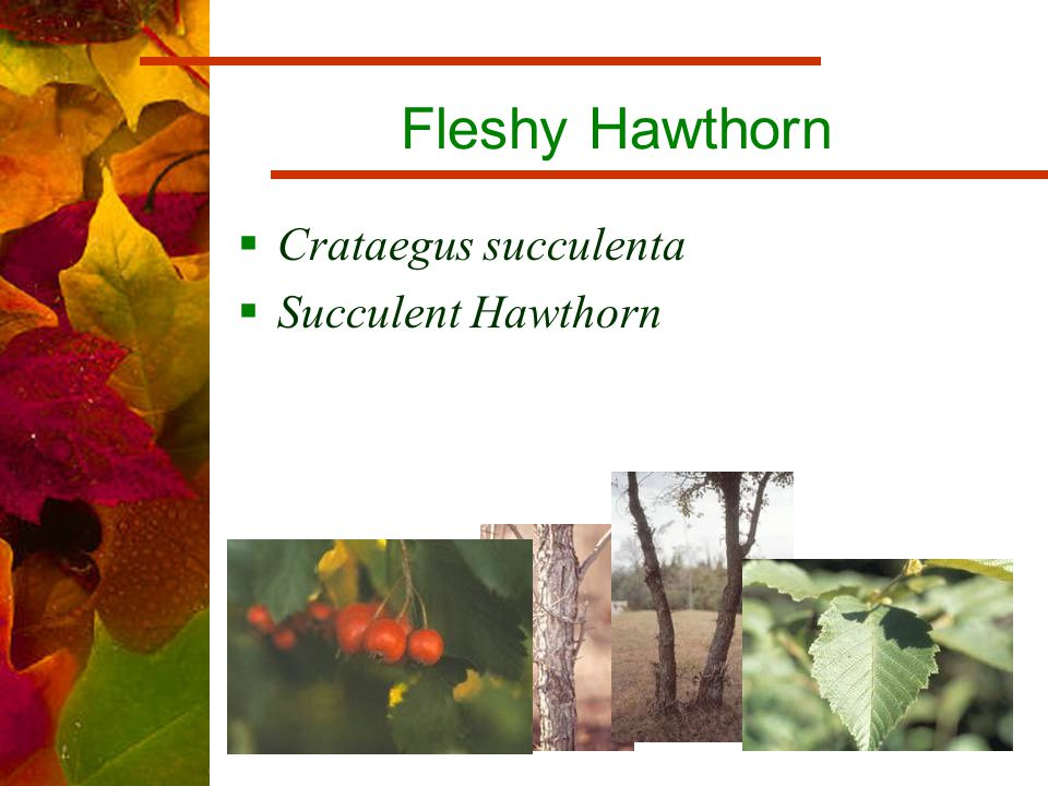 Fleshy Hawthorn  Crataegus succulenta  Succulent Hawthorn
