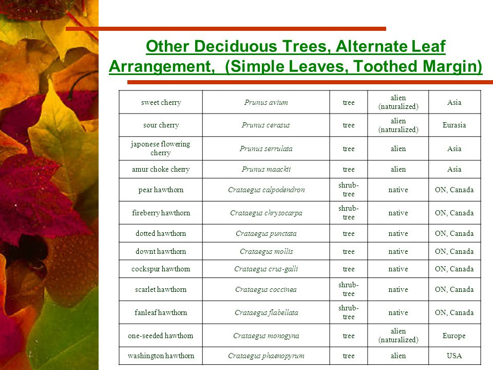 Other Deciduous Trees, Alternate Leaf Arrangement, (Simple Leaves, Toothed Margin) sweet cherryPrunus aviumtree alien (naturalized) Asia sour cherryPrunus cerasustree alien (naturalized) Eurasia japonese flowering cherry Prunus serrulatatreealienAsia amur choke cherryPrunus maackiitreealienAsia pear hawthornCrataegus calpodendron shrub- tree nativeON, Canada fireberry hawthornCrataegus chrysocarpa shrub- tree nativeON, Canada dotted hawthornCrataegus punctatatreenativeON, Canada downt hawthornCrataegus mollistreenativeON, Canada cockspur hawthornCrataegus crus-gallitreenativeON, Canada scarlet hawthornCrataegus coccinea shrub- tree nativeON, Canada fanleaf hawthornCrataegus flabellata shrub- tree nativeON, Canada one-seeded hawthornCrataegus monogynatree alien (naturalized) Europe washington hawthornCrataegus phaenopyrumtreealienUSA