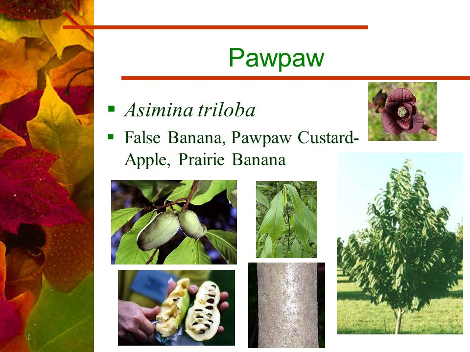 Pawpaw  Asimina triloba  False Banana, Pawpaw Custard- Apple, Prairie Banana