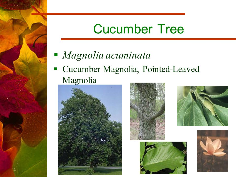 Cucumber Tree  Magnolia acuminata  Cucumber Magnolia, Pointed-Leaved Magnolia