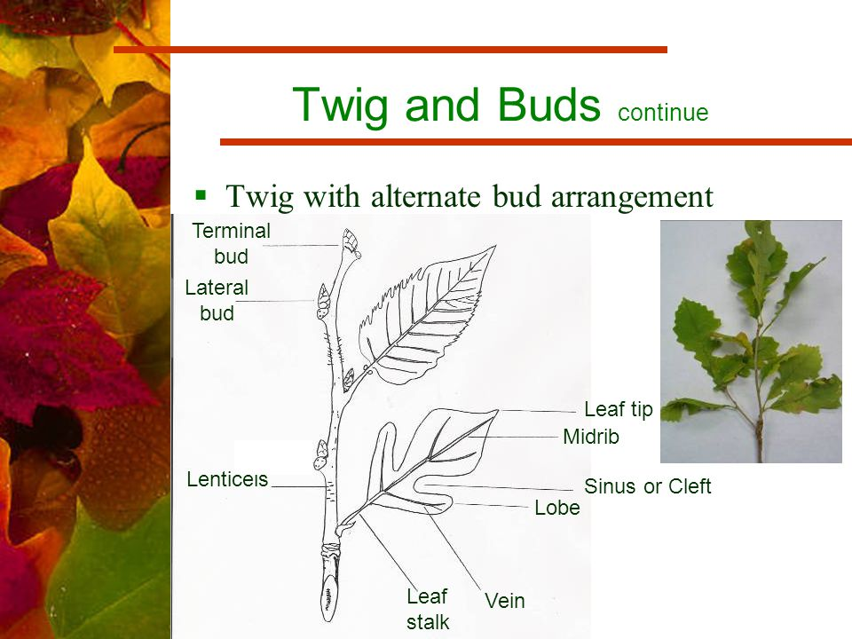 Twig and Buds continue  Twig with alternate bud arrangement Terminal bud Lateral bud Leaf tip Midrib Sinus or Cleft Lobe Vein Leaf stalk Lenticels
