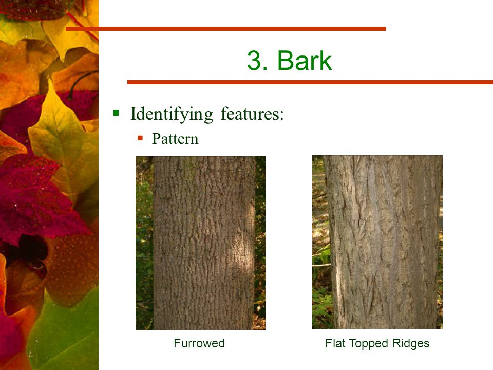 3. Bark  Identifying features:  Pattern Furrowed Flat Topped Ridges