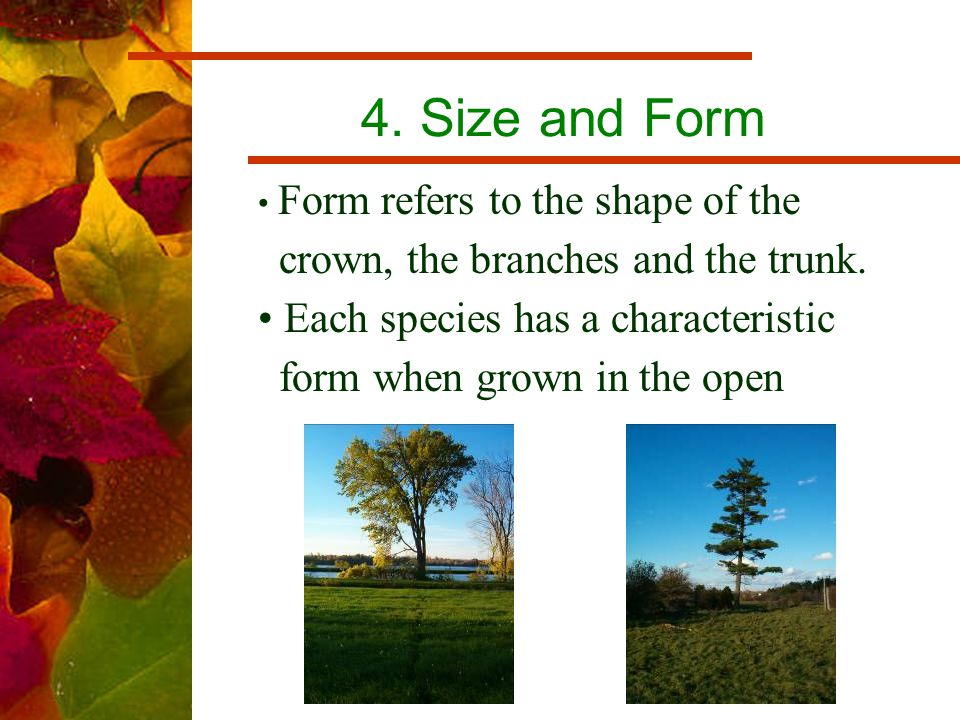 4. Size and Form Form refers to the shape of the crown, the branches and the trunk.