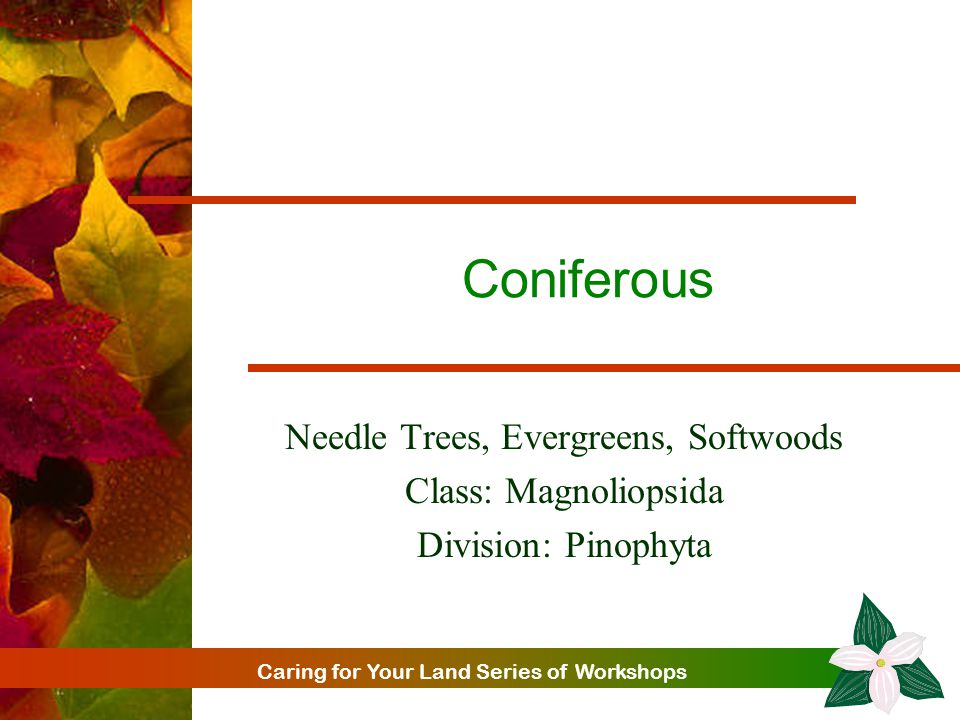 Caring for Your Land Series of Workshops Coniferous Needle Trees, Evergreens, Softwoods Class: Magnoliopsida Division: Pinophyta