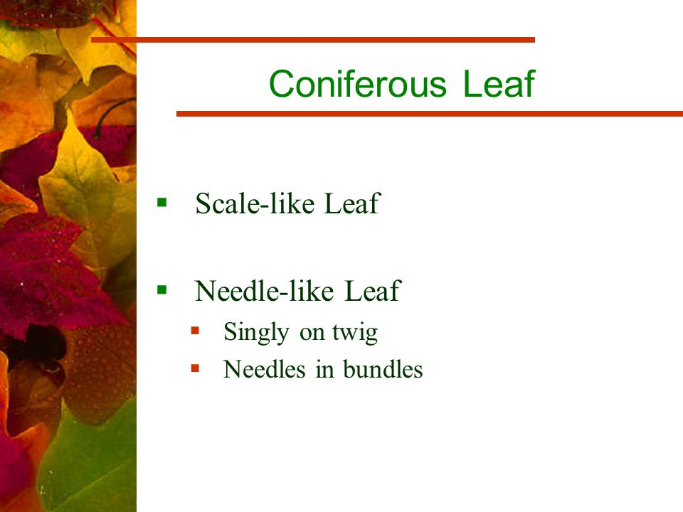 Coniferous Leaf  Scale-like Leaf  Needle-like Leaf  Singly on twig  Needles in bundles