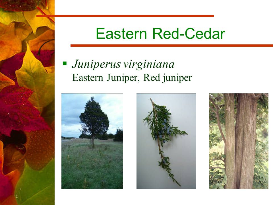 Eastern Red-Cedar  Juniperus virginiana Eastern Juniper, Red juniper