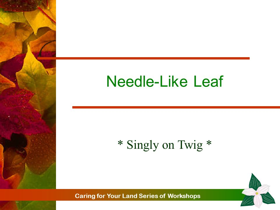 Caring for Your Land Series of Workshops Needle-Like Leaf * Singly on Twig *