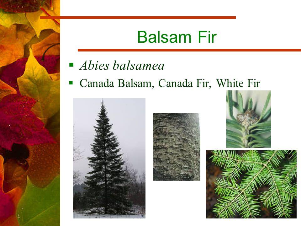 Balsam Fir  Abies balsamea  Canada Balsam, Canada Fir, White Fir