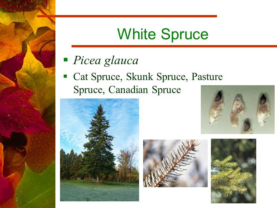 White Spruce  Picea glauca  Cat Spruce, Skunk Spruce, Pasture Spruce, Canadian Spruce