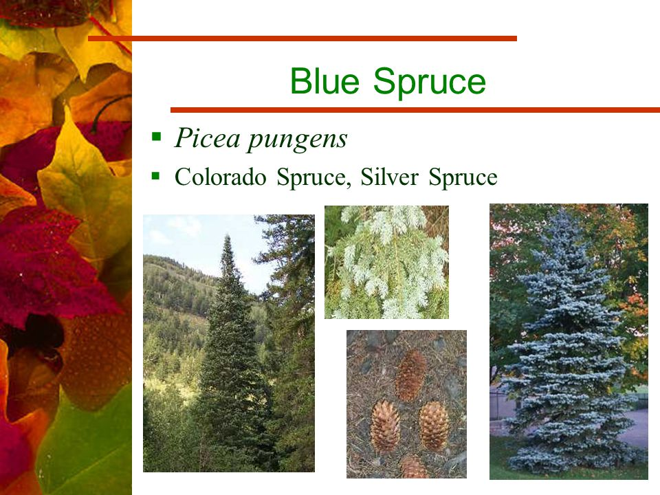 Blue Spruce  Picea pungens  Colorado Spruce, Silver Spruce