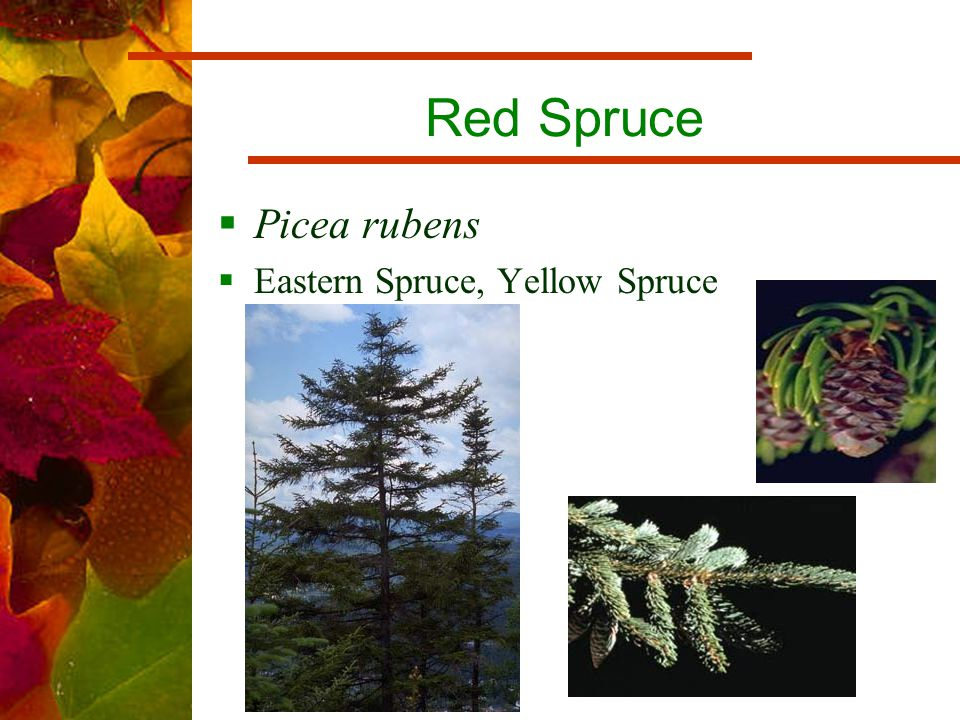 Red Spruce  Picea rubens  Eastern Spruce, Yellow Spruce