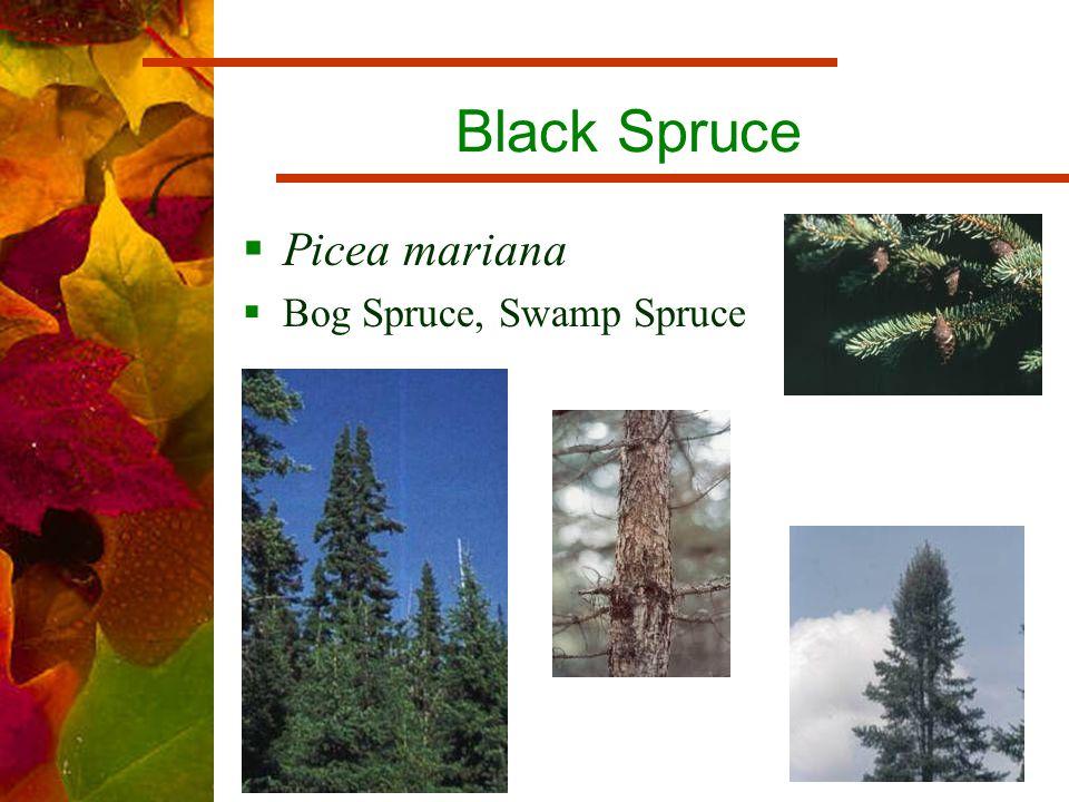 Black Spruce  Picea mariana  Bog Spruce, Swamp Spruce