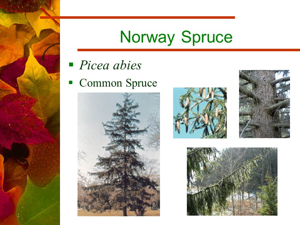 Norway Spruce  Picea abies  Common Spruce
