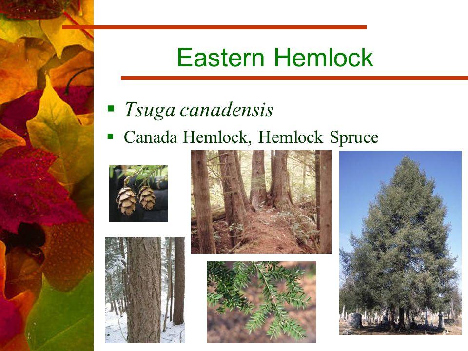 Eastern Hemlock  Tsuga canadensis  Canada Hemlock, Hemlock Spruce