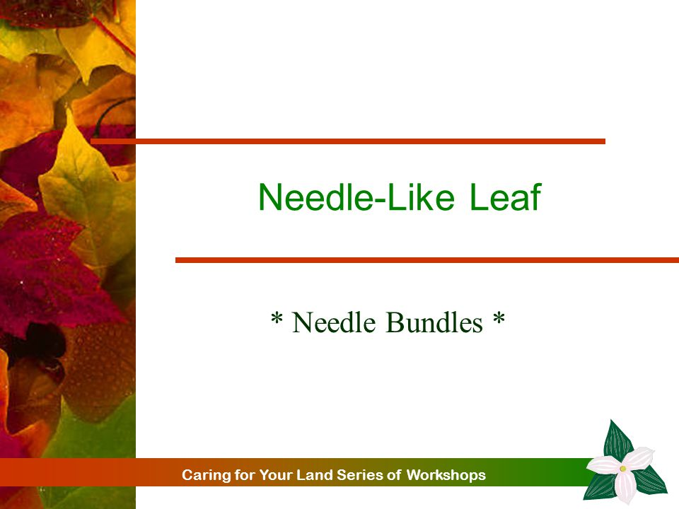 Caring for Your Land Series of Workshops Needle-Like Leaf * Needle Bundles *