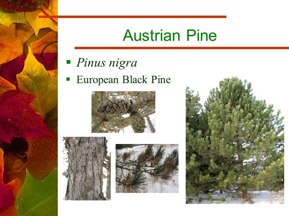 Austrian Pine  Pinus nigra  European Black Pine