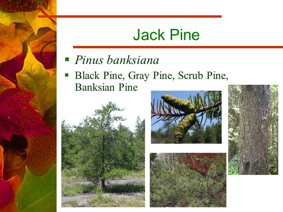Jack Pine  Pinus banksiana  Black Pine, Gray Pine, Scrub Pine, Banksian Pine