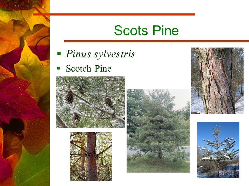 Scots Pine  Pinus sylvestris  Scotch Pine