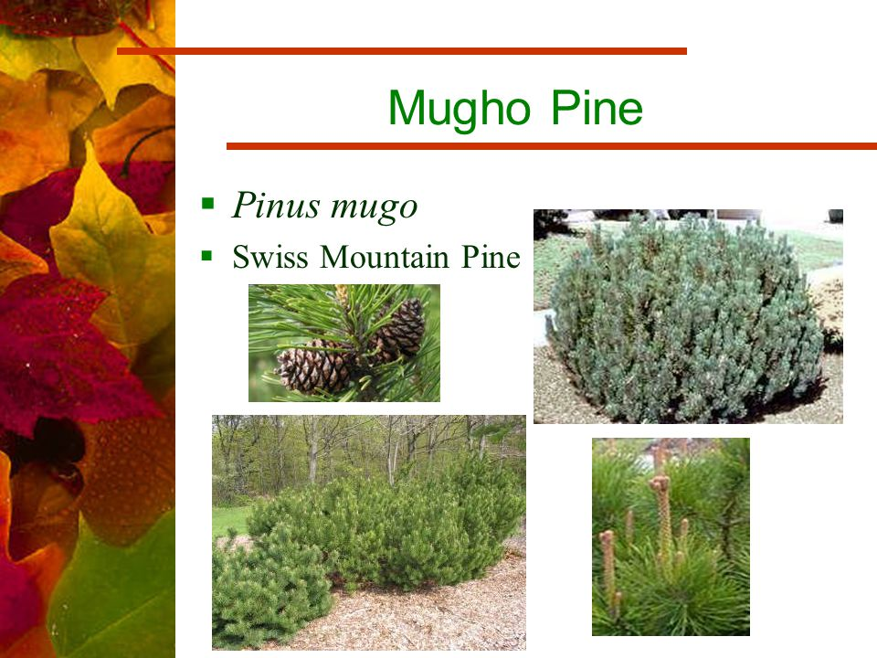Mugho Pine  Pinus mugo  Swiss Mountain Pine