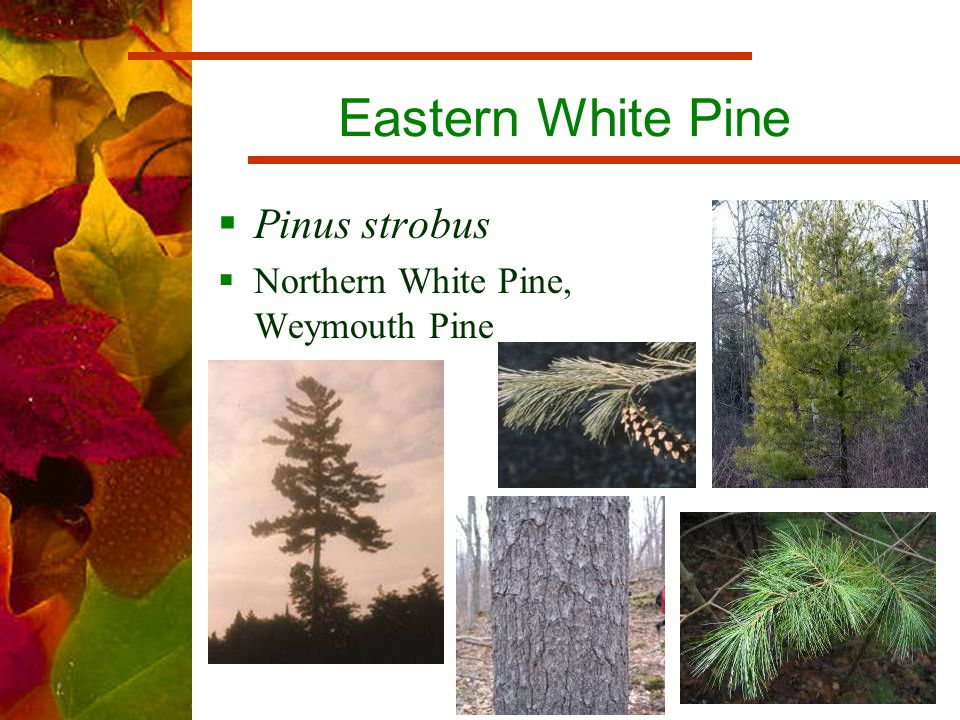 Eastern White Pine  Pinus strobus  Northern White Pine, Weymouth Pine