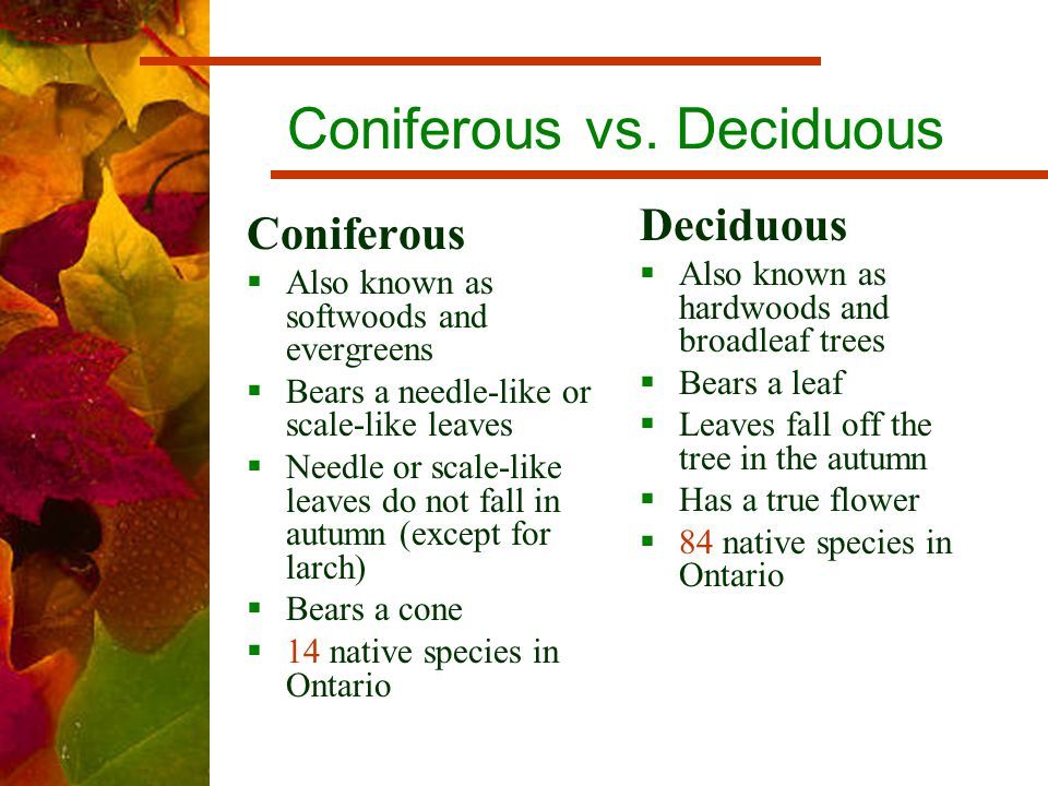 Coniferous vs. Deciduous Deciduous  Also known as hardwoods and broadleaf trees  Bears a leaf  Leaves fall off the tree in the autumn  Has a true