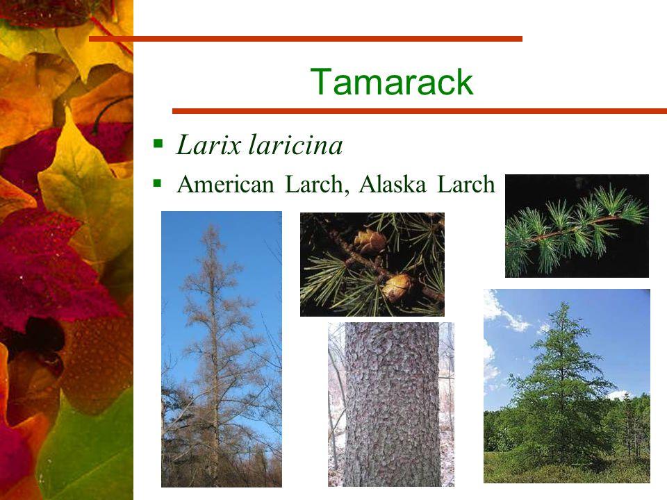 Tamarack  Larix laricina  American Larch, Alaska Larch