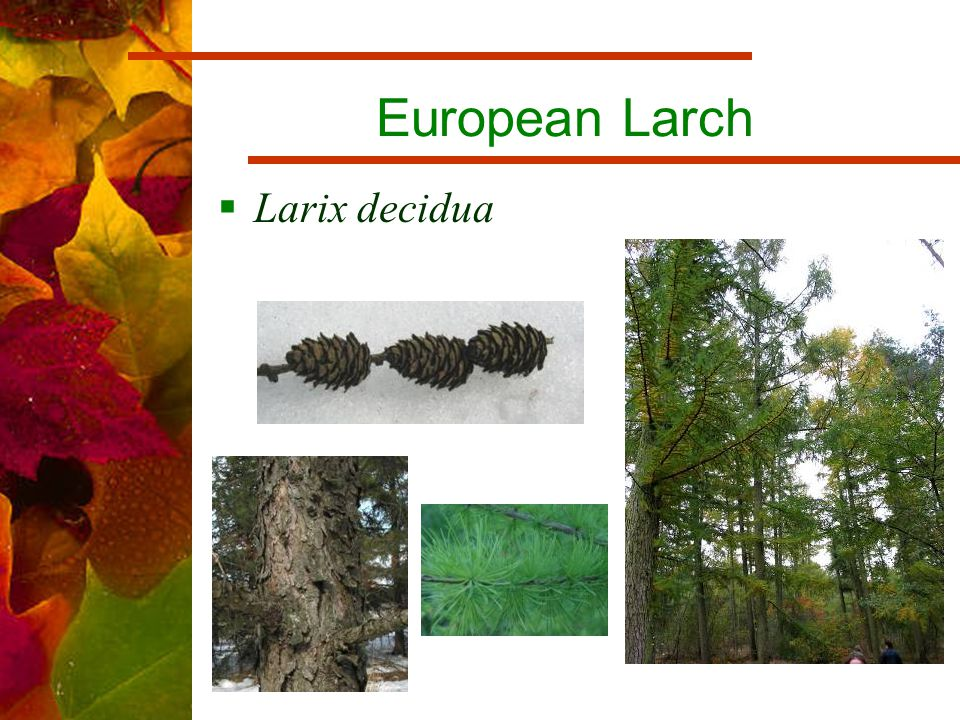 European Larch  Larix decidua