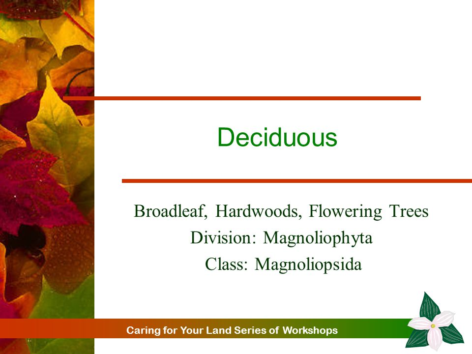 Caring for Your Land Series of Workshops Deciduous Broadleaf, Hardwoods, Flowering Trees Division: Magnoliophyta Class: Magnoliopsida