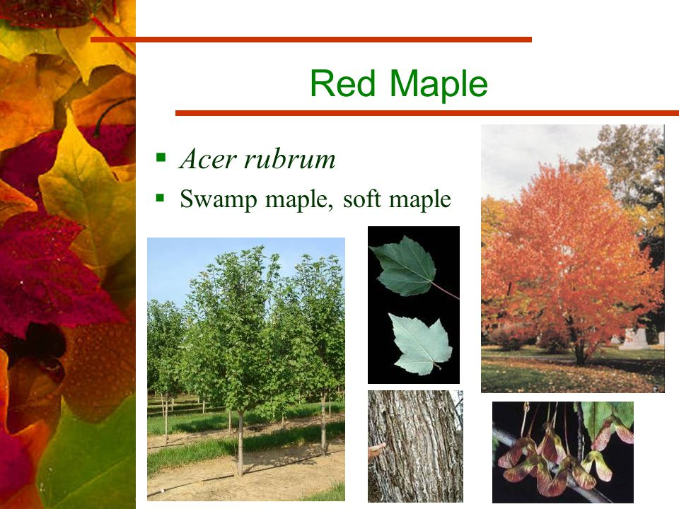 Red Maple  Acer rubrum  Swamp maple, soft maple