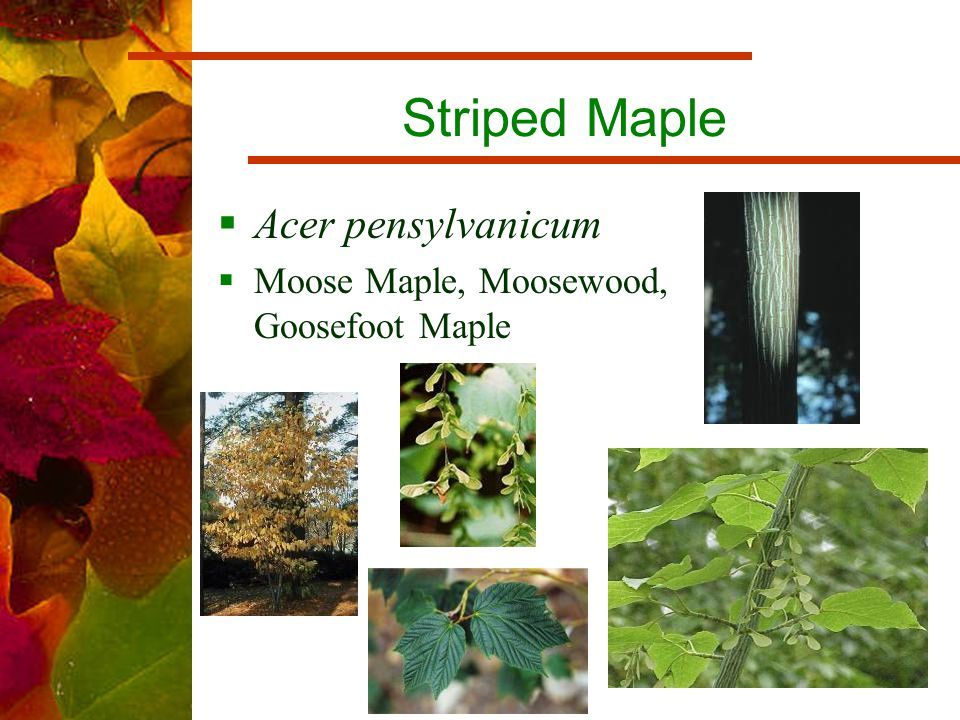 Striped Maple  Acer pensylvanicum  Moose Maple, Moosewood, Goosefoot Maple