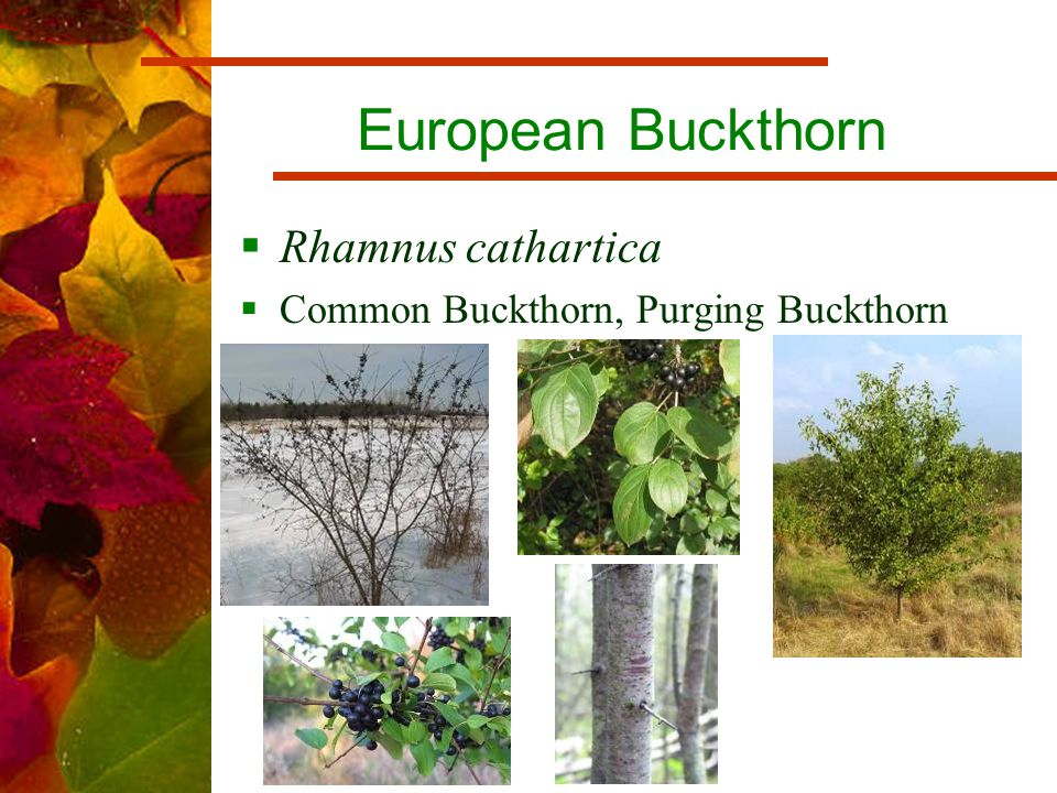 European Buckthorn  Rhamnus cathartica  Common Buckthorn, Purging Buckthorn