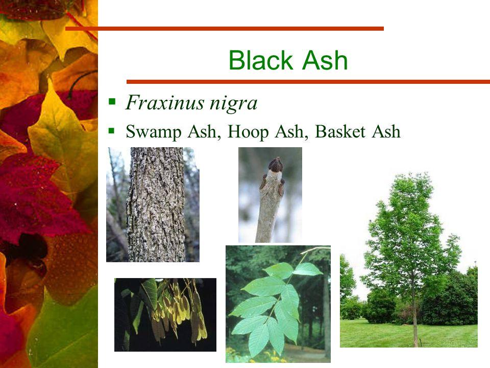 Black Ash  Fraxinus nigra  Swamp Ash, Hoop Ash, Basket Ash