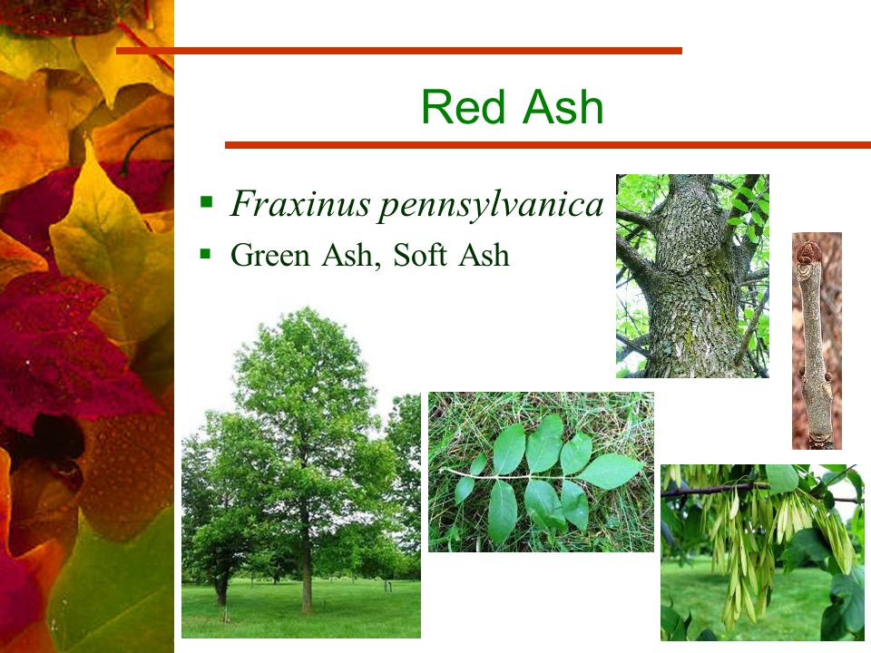 Red Ash  Fraxinus pennsylvanica  Green Ash, Soft Ash