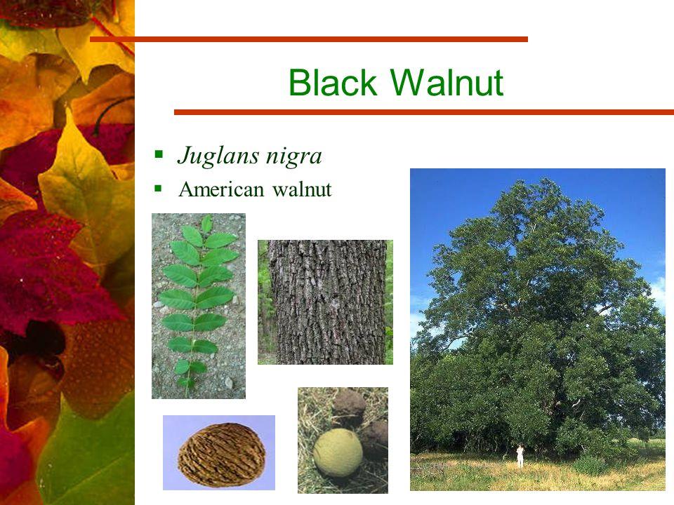 Black Walnut  Juglans nigra  American walnut