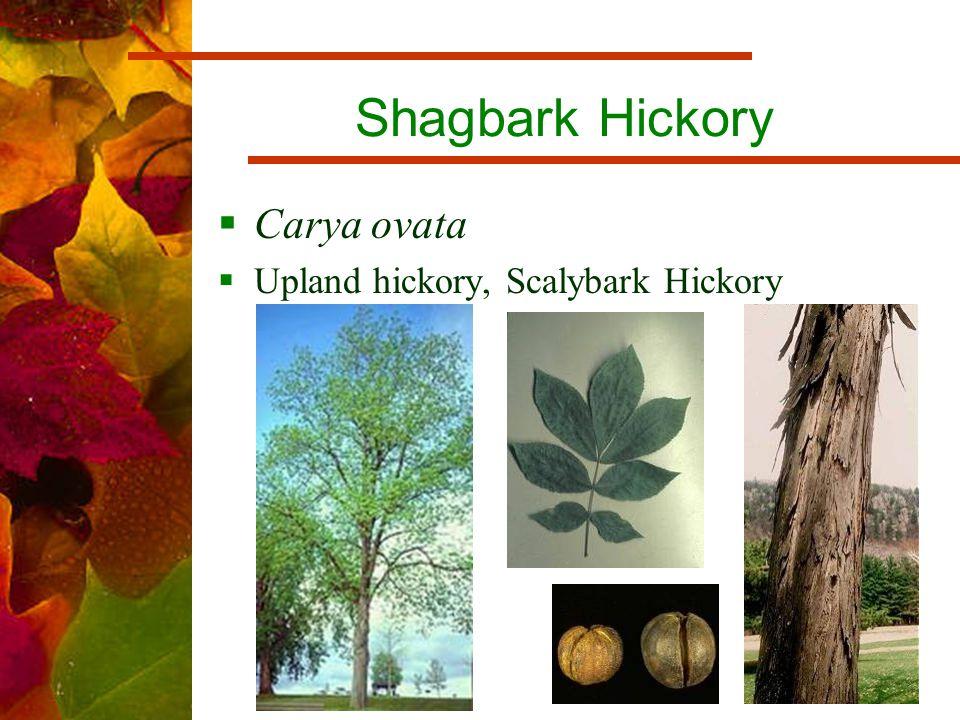 Shagbark Hickory  Carya ovata  Upland hickory, Scalybark Hickory