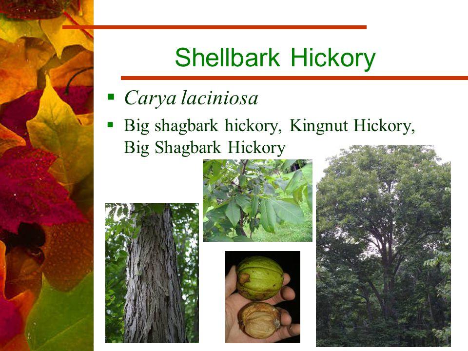 Shellbark Hickory  Carya laciniosa  Big shagbark hickory, Kingnut Hickory, Big Shagbark Hickory