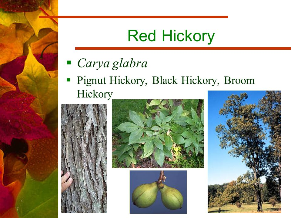 Red Hickory  Carya glabra  Pignut Hickory, Black Hickory, Broom Hickory
