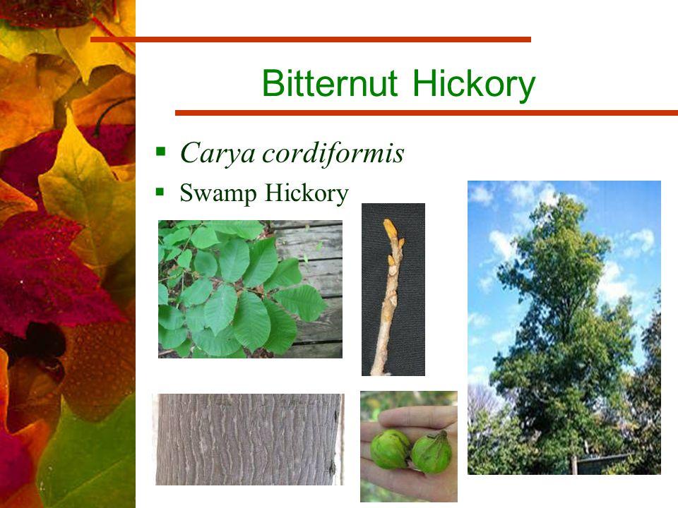 Bitternut Hickory  Carya cordiformis  Swamp Hickory