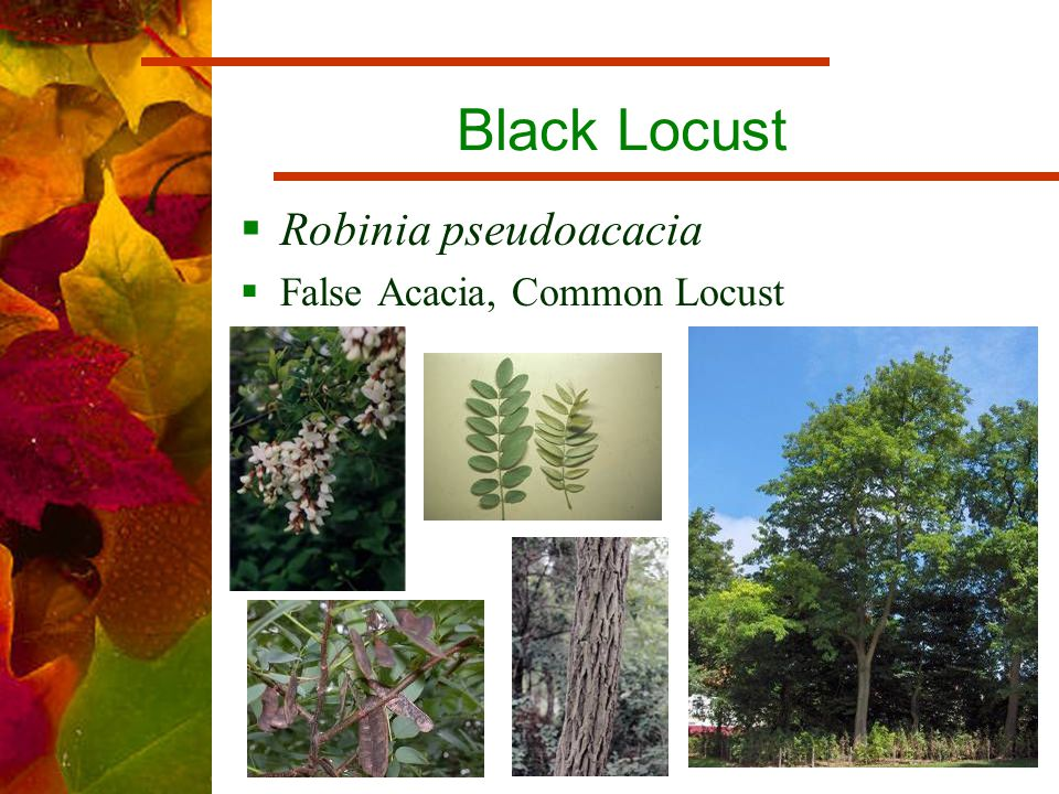 Black Locust  Robinia pseudoacacia  False Acacia, Common Locust